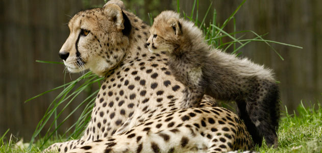 Best-Mother-Animal-Cheetah-631